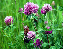Trebol Rojo Queni Quelli, semillas, pasturas, alfalfa, sorgos híbridos, grama rhodes, brachiaria, subtropiales, gramíneas, leguminosas, rye grass