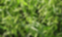 Avena Bonaerense Maná Inta, semillas, pasturas, alfalfa, sorgos híbridos, grama rhodes, brachiaria, subtropiales, gramíneas, leguminosas, rye grass