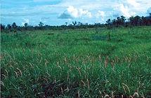 Cenchrus Ciliaris, semillas, pasturas, alfalfa, sorgos híbridos, grama rhodes, brachiaria, subtropiales, gramíneas, leguminosas, rye grass