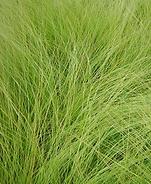 Pasto Lloron, semillas, pasturas, alfalfa, sorgos híbridos, grama rhodes, brachiaria, subtropiales, gramíneas, leguminosas, rye grass
