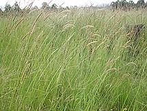 Setaria Sphaceleta, semillas, pasturas, alfalfa, sorgos híbridos, grama rhodes, brachiaria, subtropiales, gramíneas, leguminosas, rye grass