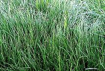 Festuca Fawn, semillas, pasturas, alfalfa, sorgos híbridos, grama rhodes, brachiaria, subtropiales, gramíneas, leguminosas, rye grass