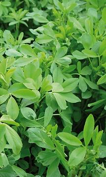 semillas, pasturas, alfalfa galia, sorgos híbridos, grama rhodes, brachiaria, subtropiales, gramíneas, leguminosas, rye grass