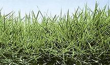 Brachiaria Humidicola, semillas, pasturas, alfalfa, sorgos híbridos, grama rhodes, brachiaria, subtropiales, gramíneas, leguminosas, rye grass