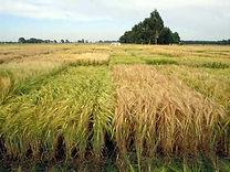 Cevada Cervecera, semillas, pasturas, alfalfa, sorgos híbridos, grama rhodes, brachiaria, subtropiales, gramíneas, leguminosas, rye grass