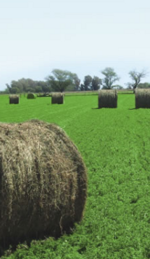 semillas, pasturas, alfalfa aurora, sorgos híbridos, grama rhodes, brachiaria, subtropiales, gramíneas, leguminosas, rye grass
