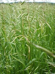 Avena Strigosa, semillas, pasturas, alfalfa, sorgos híbridos, grama rhodes, brachiaria, subtropiales, gramíneas, leguminosas, rye grass