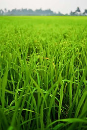 Rye Grass Federal Inta, semillas, pasturas, alfalfa, sorgos híbridos, grama rhodes, brachiaria, subtropiales, gramíneas, leguminosas, rye grass