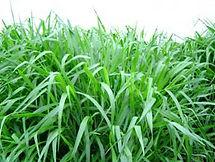 Brachiaria Brizantha, semillas, pasturas, alfalfa, sorgos híbridos, grama rhodes, brachiaria, subtropiales, gramíneas, leguminosas, rye grass