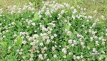 Trebol Blanco El Lucero, semillas, pasturas, alfalfa, sorgos híbridos, grama rhodes, brachiaria, subtropiales, gramíneas, leguminosas, rye grass