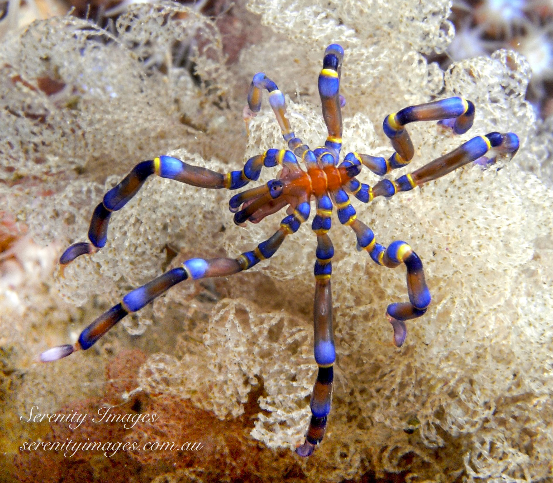 Blue Kneed Spider SI-1