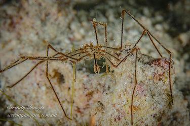 SI Komoto Spider-8015.jpg