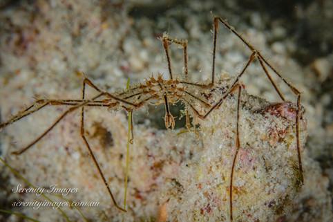 Komoto Spider