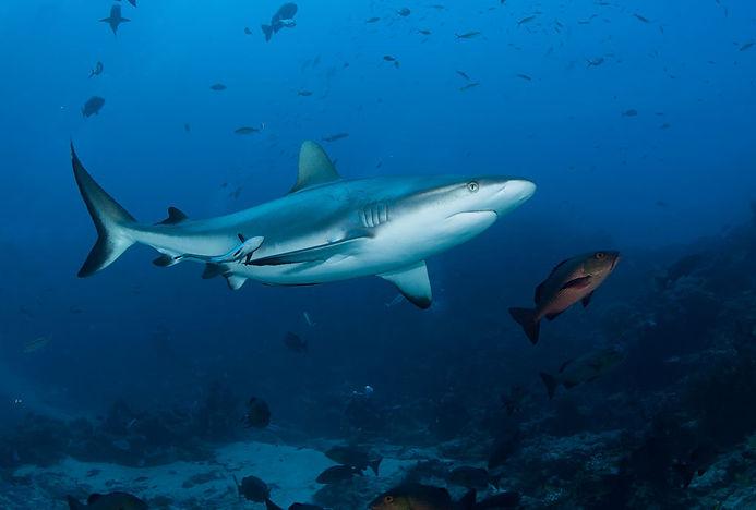 similans-shark-diving.jpg