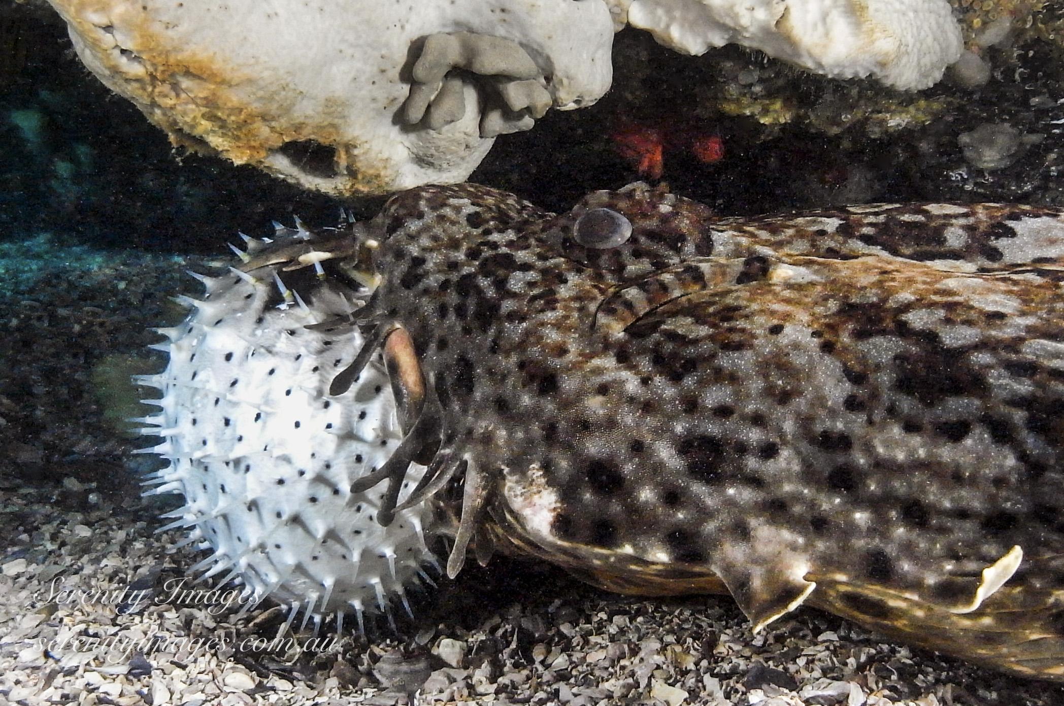 Wobbigong Eating Pufferfish SI-2