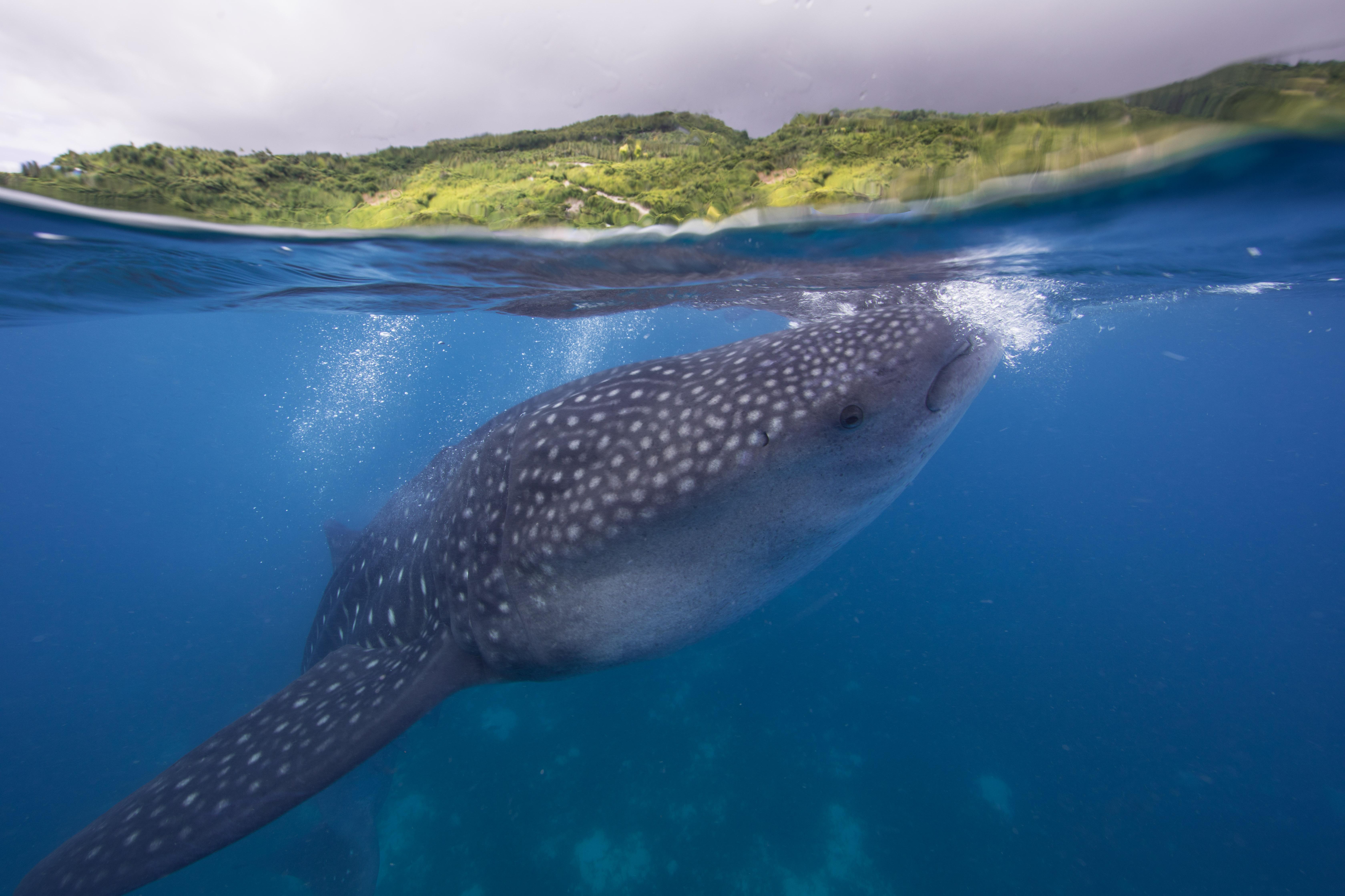Wale Shark-7529