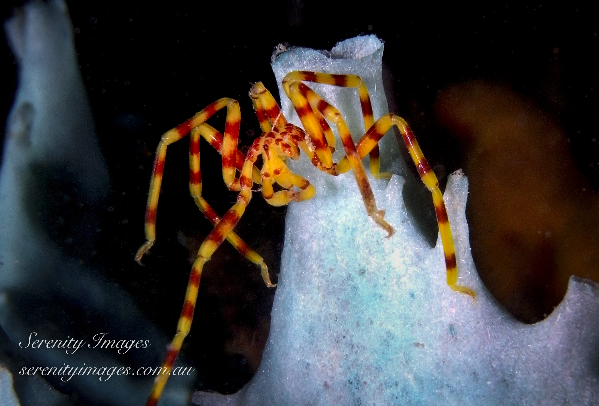 Yellow Spider SI-1