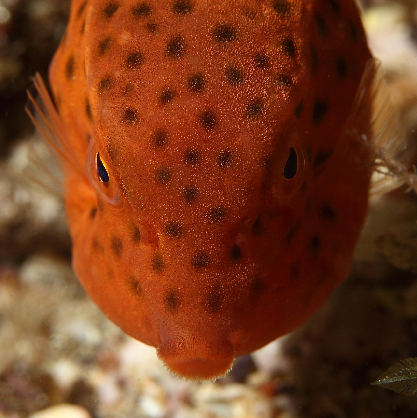 Box Fish 5961-001