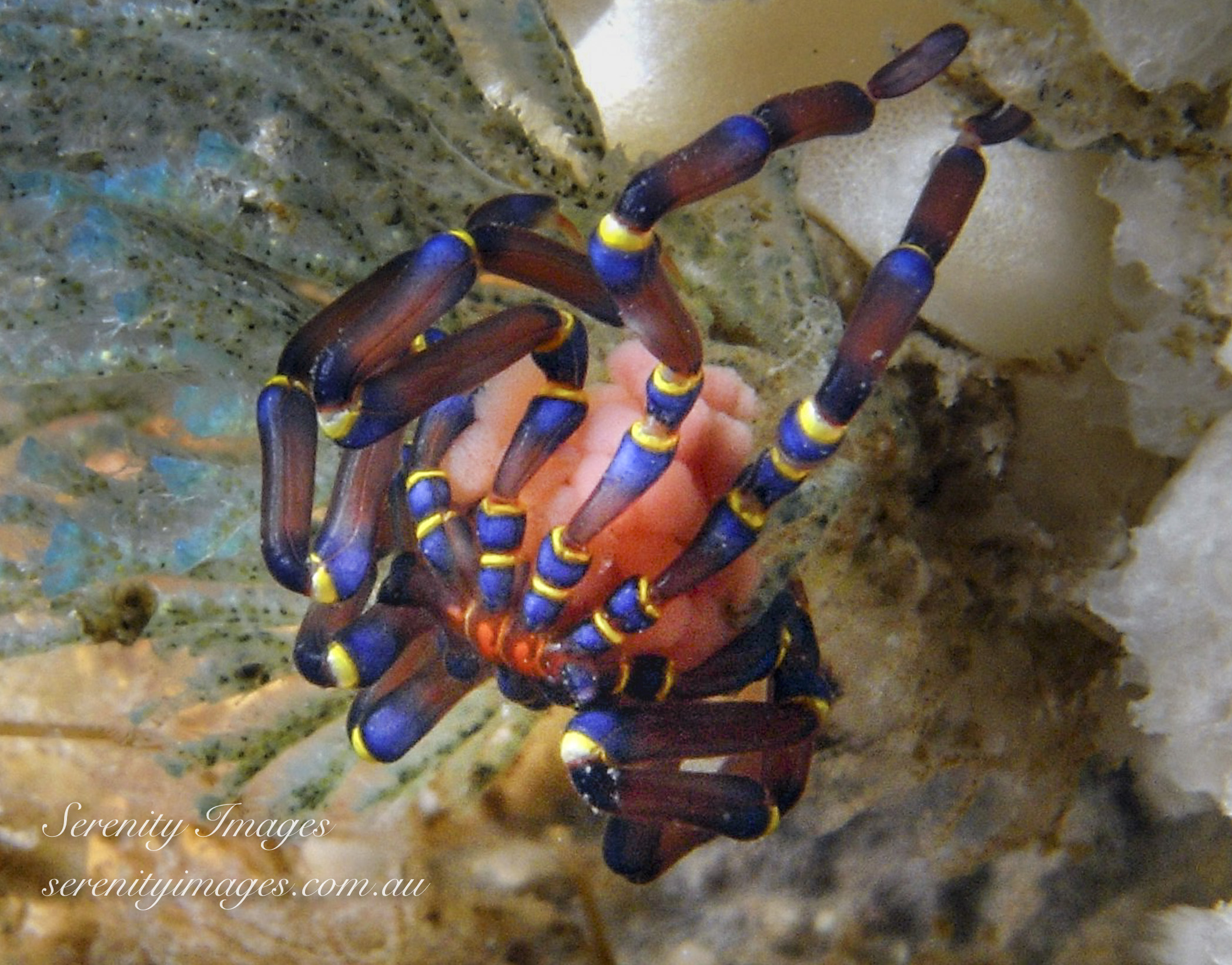 Blue Kneed Spider SI-2