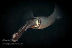 Squid SI-8062