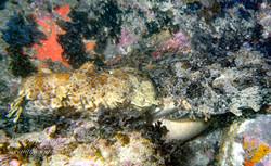 Wobbegong Mating SI-00141512