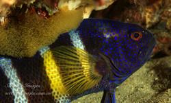 Devil Fish with Eggs SI-001