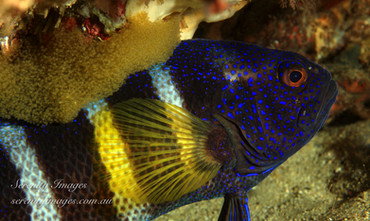 Devil Fish with Eggs SI-001.jpg