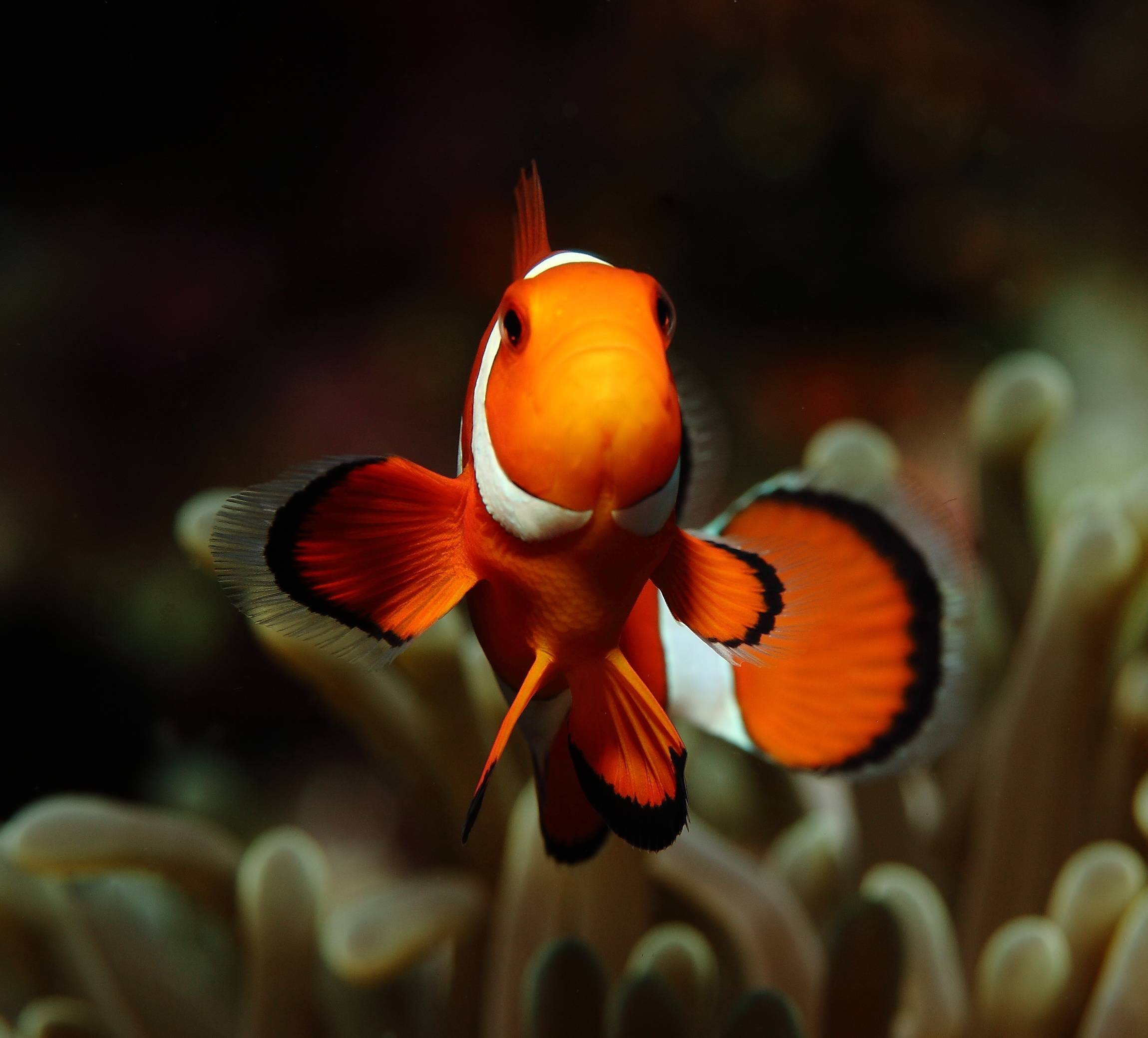 Clown Fish_2845-001