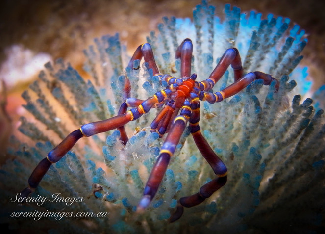Blue Knee  Spider SI-1.jpg