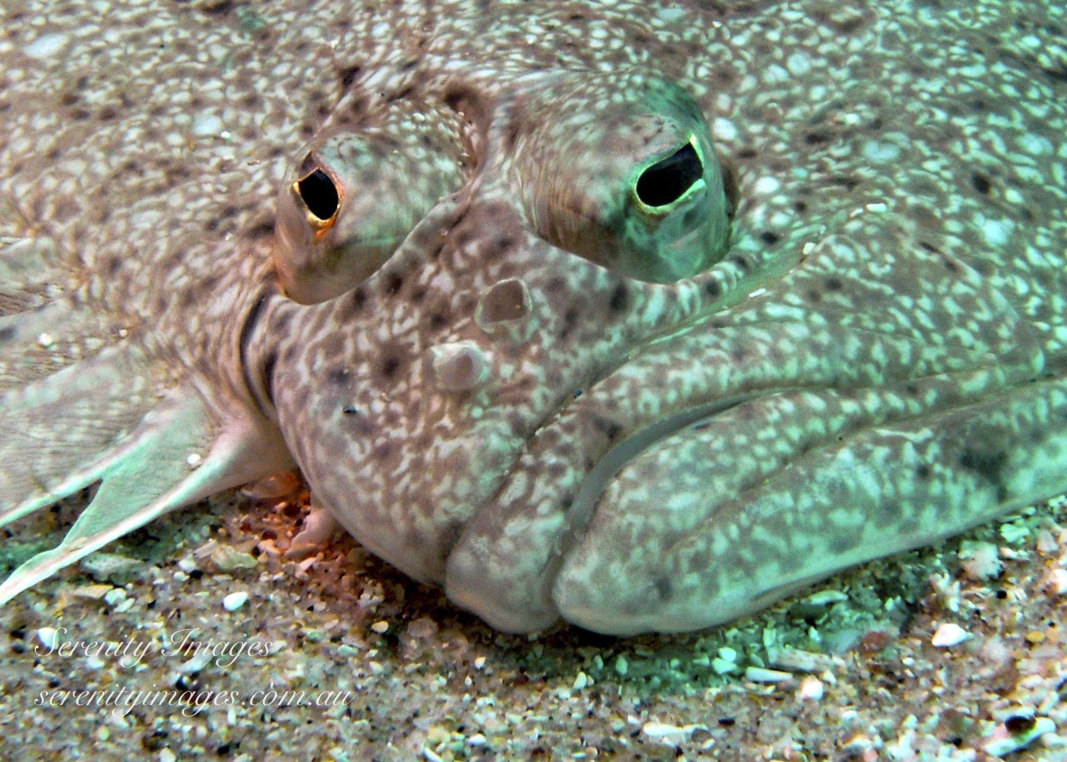 Flounder SI-00169251