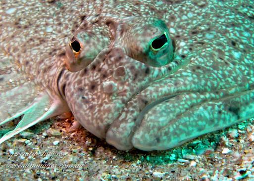 Flounder SI-00169251.jpg