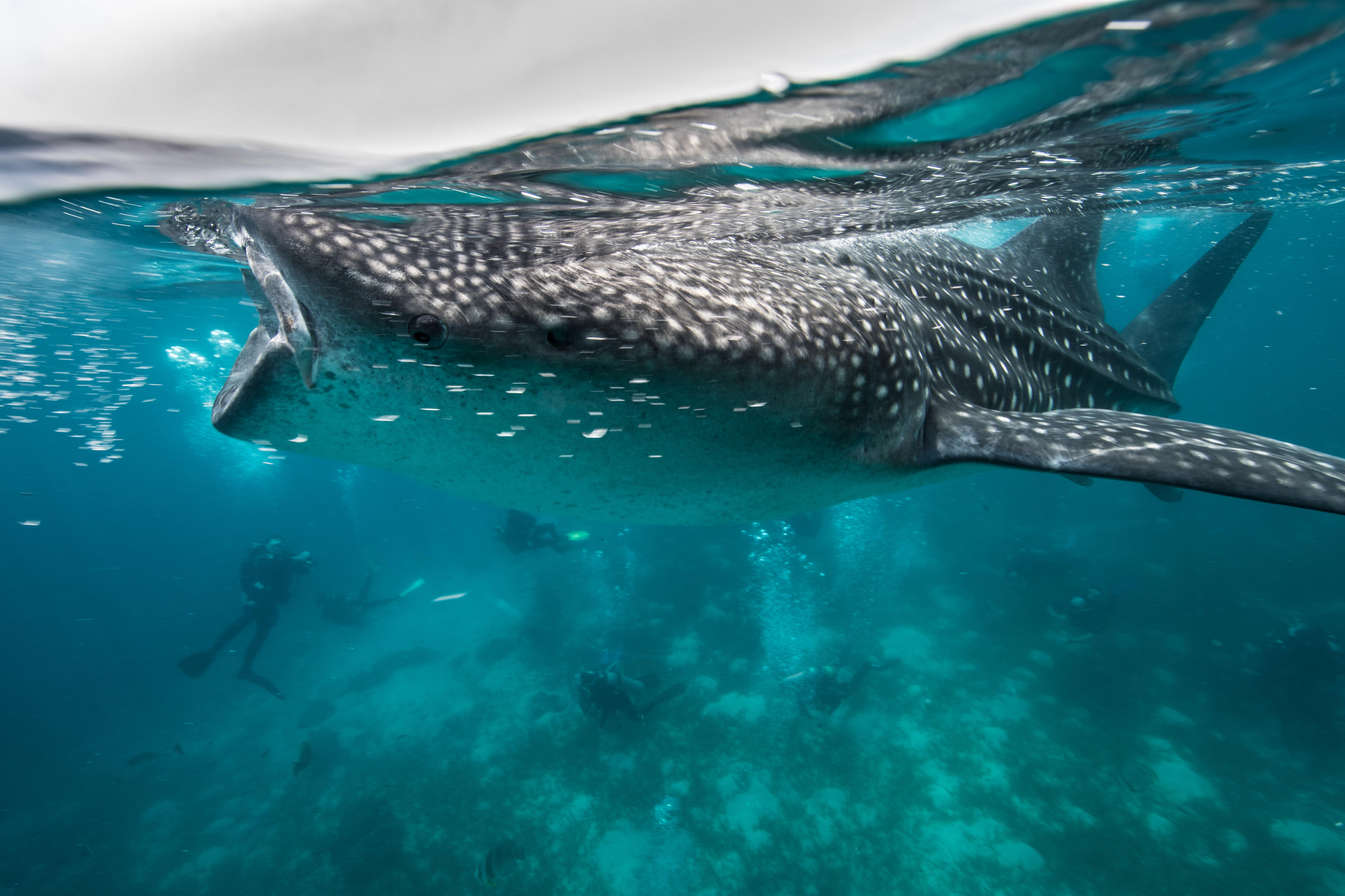 Wale Shark-3626