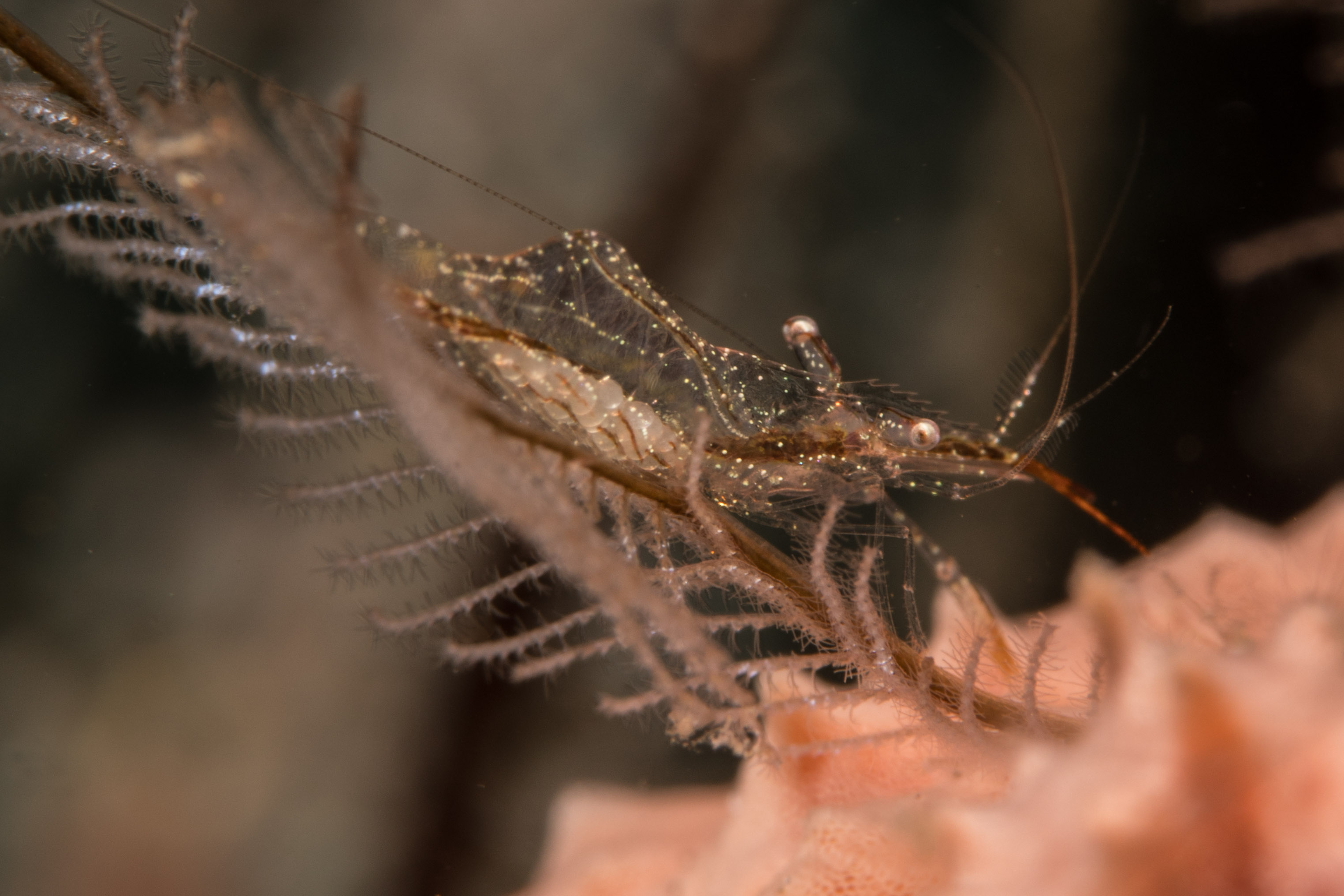 Shrimp-2541