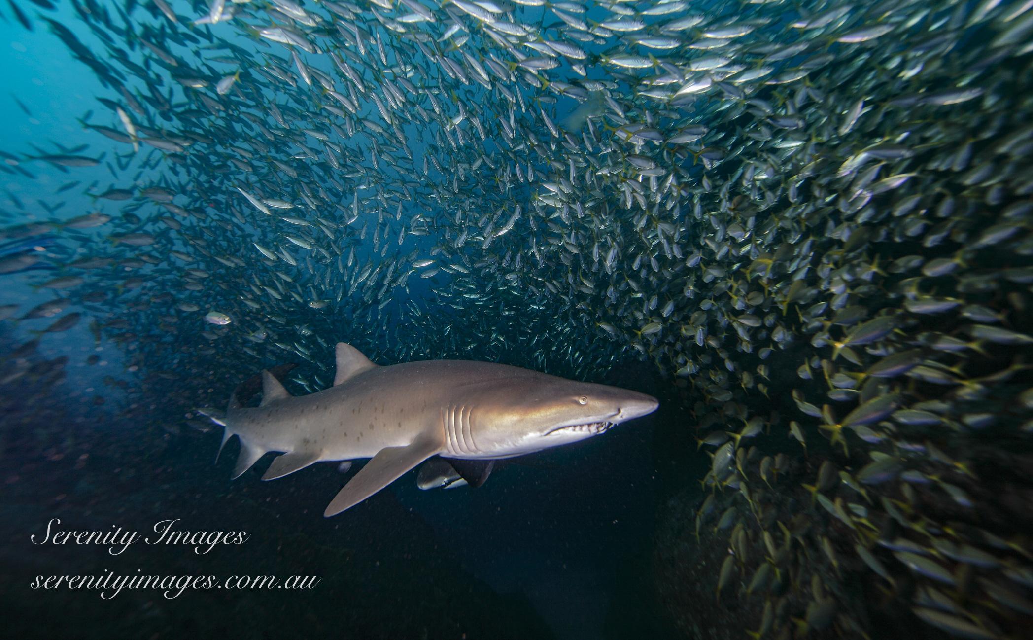 GN Shark SI-001