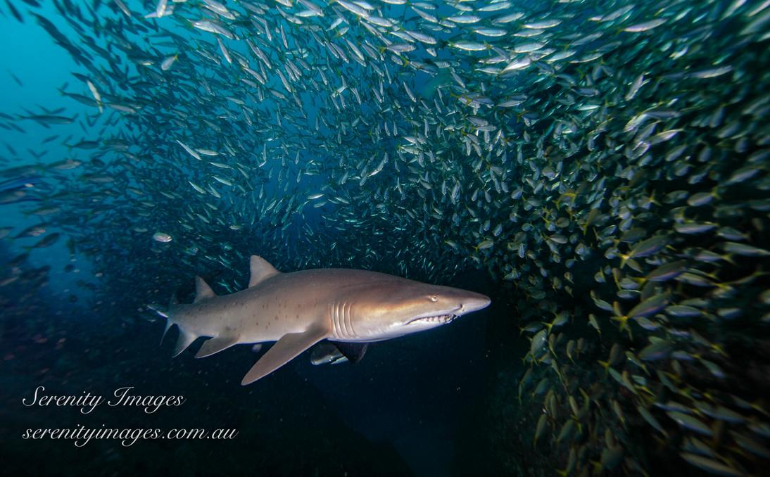 GN Shark SI-001.jpg
