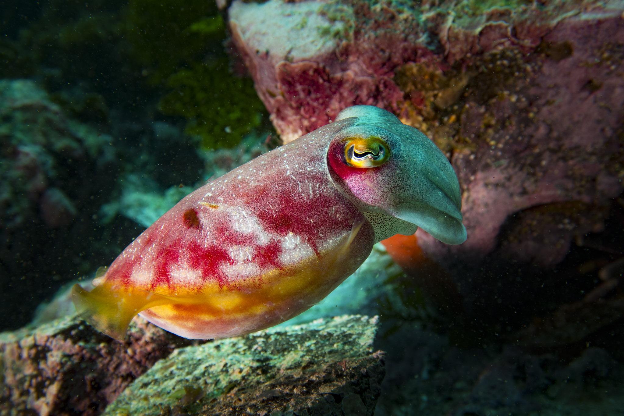 reaper cuttlefish