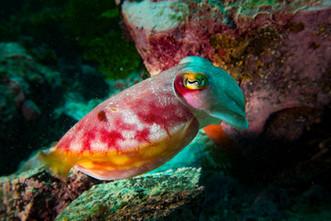 reaper cuttlefish.jpg