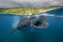 Wale Shark-7076