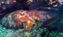 Cuttlefish Mating SI-1