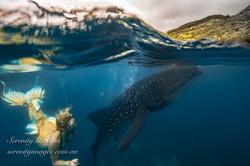 Mermaid Bonnie Wale Shark SI-7608-2