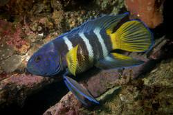 Eastern Blue Devil Fish