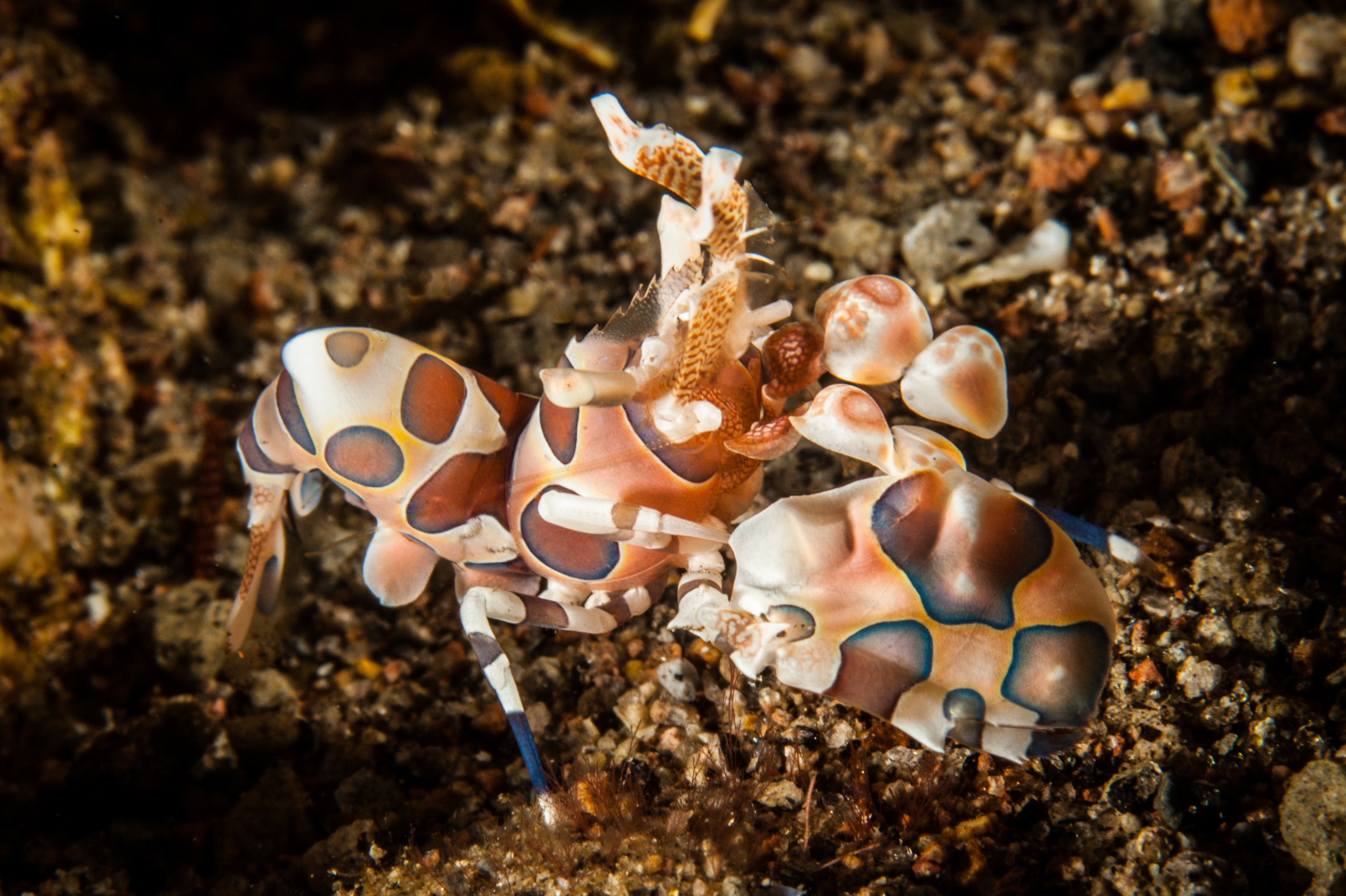 Harlequin Shrimp-5401