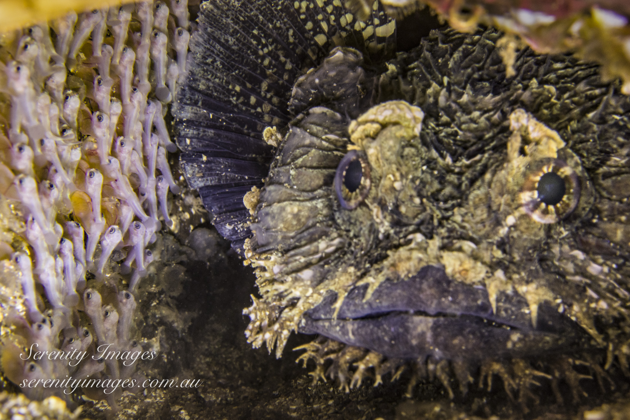 Frog Fish with Babys SI-1419