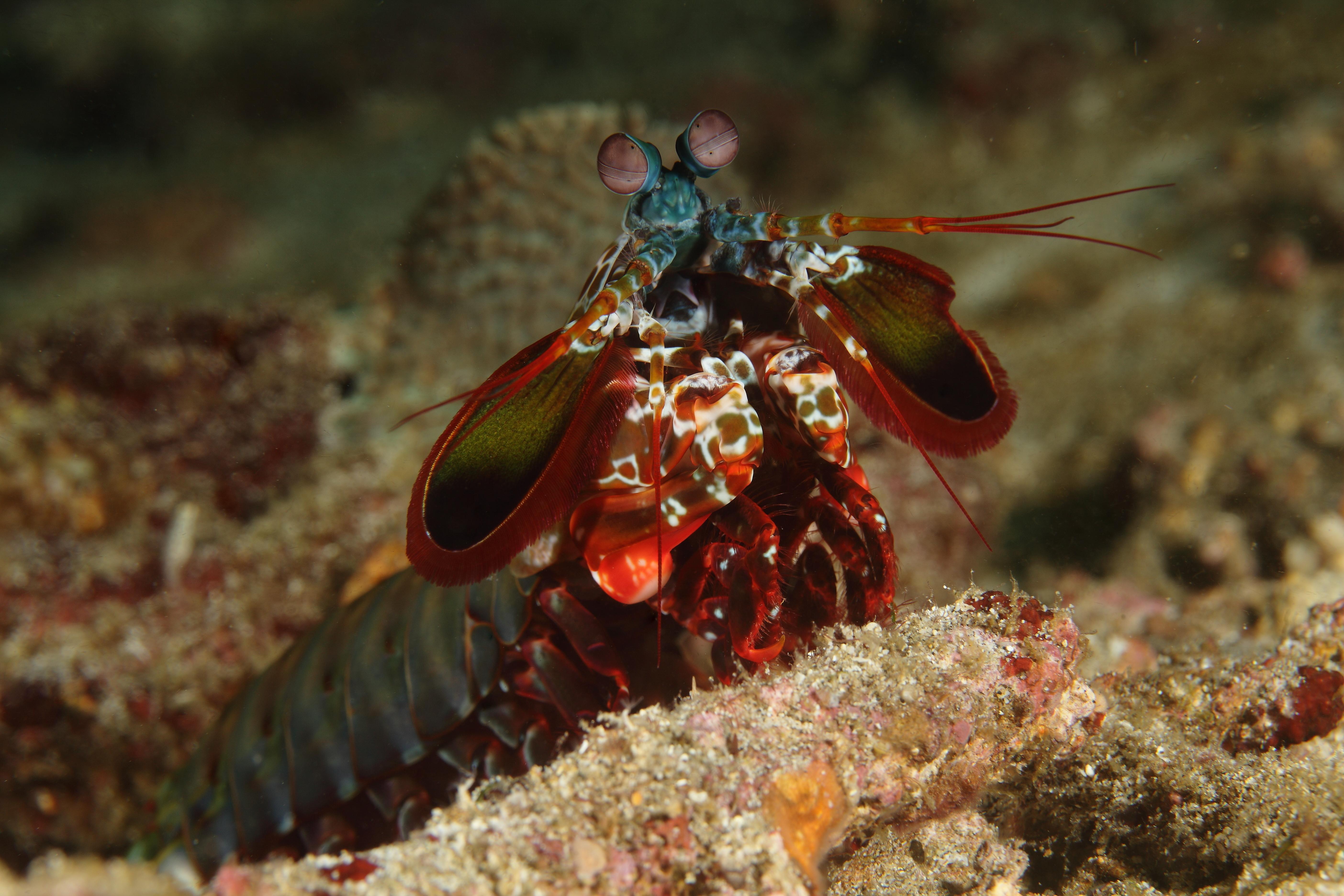 Manta Shrimp_4388-001