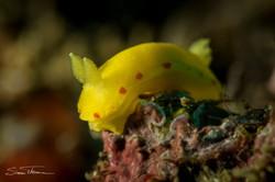 Yellow Nudibranch