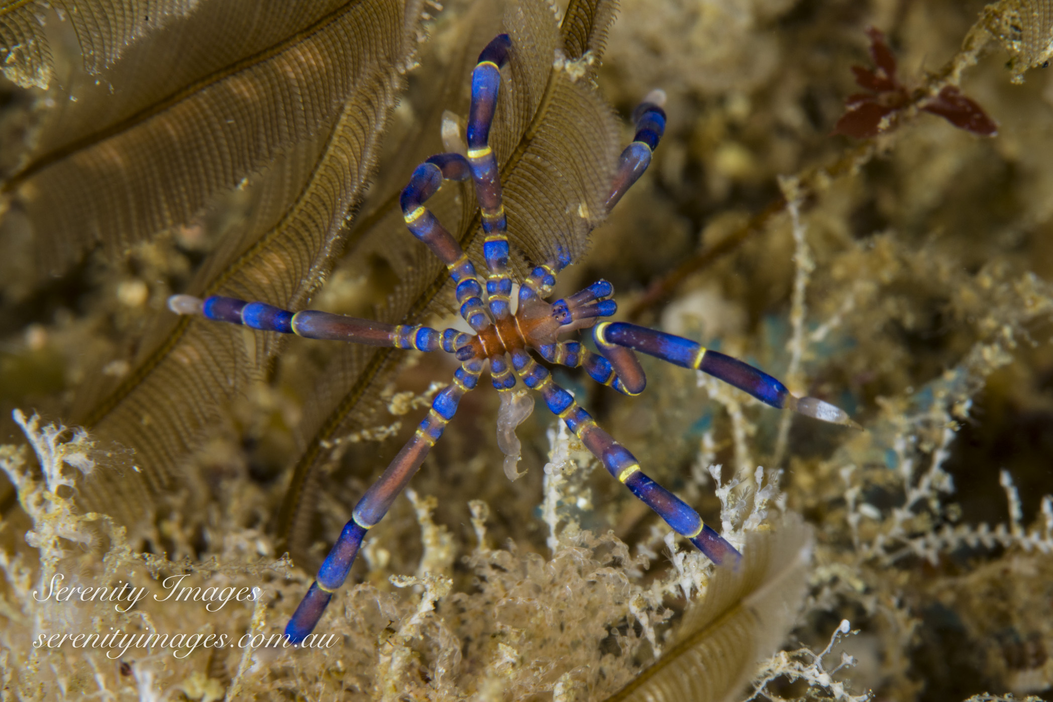 Blue Knee Spider SI-7682