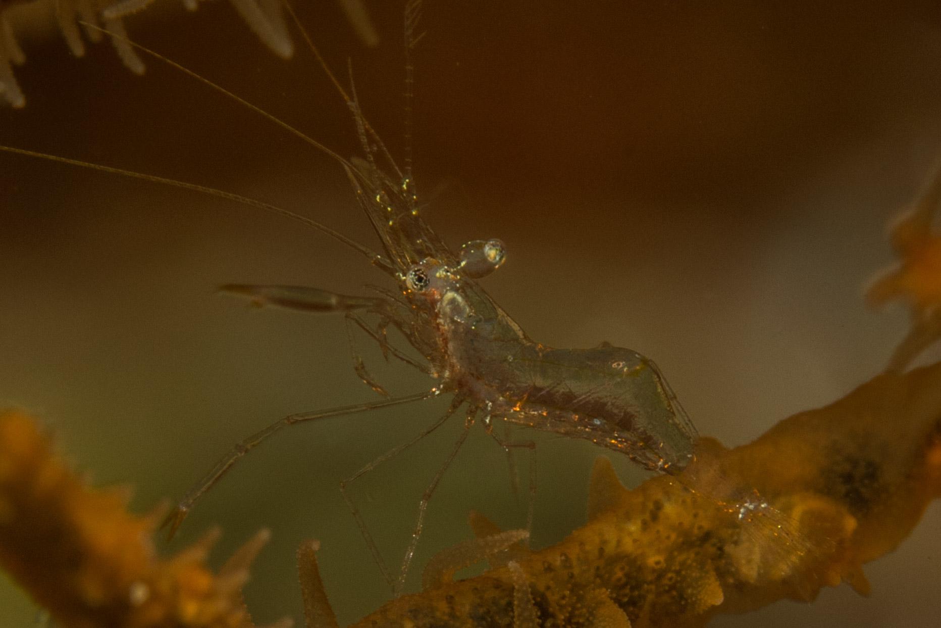 Shrimp-6713