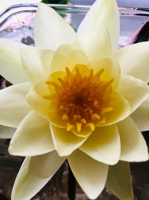 Lotus Flower Essence