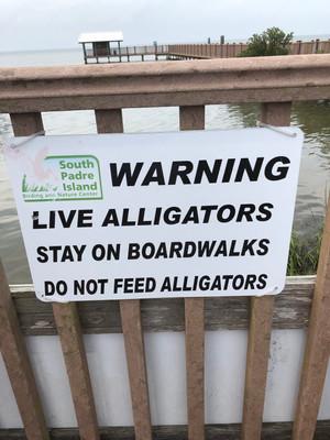 Live Alligators