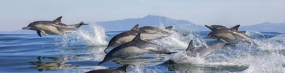 shutterstock_dolphins-rz long2.jpeg